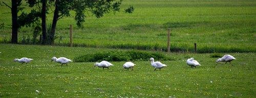 Biologisch gevogelte
