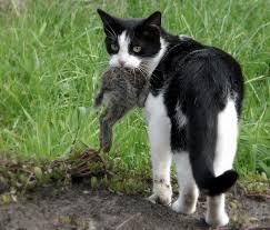 Genoeg taurine in prooidier van kat